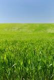 Campo de trigo em um fundo do céu azul Imagem de Stock Royalty Free