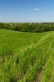 Campo de trigo em um fundo do céu azul Foto de Stock Royalty Free