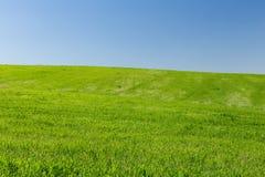 Campo de trigo em um fundo do céu azul Imagens de Stock