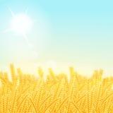 Campo de trigo em uma manhã ensolarada ilustração do vetor