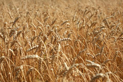 Campo de trigo en agosto, Polonia meridional fotos de archivo libres de regalías