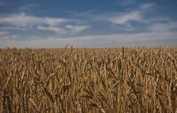 Campo de trigo en Alberta Fotografía de archivo libre de regalías