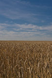 Campo de trigo en Alberta Fotos de archivo libres de regalías
