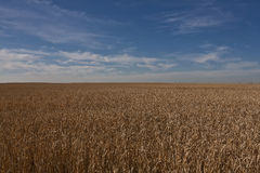 Campo de trigo en Alberta - Canadá Fotos de archivo