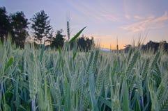 Campo de trigo en el bosque mientras que levantamiento del sol Imagenes de archivo
