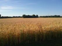 Campo de trigo en el camino de tierra Imagen de archivo libre de regalías