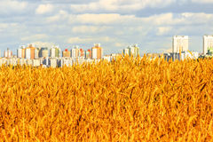 Campo de trigo en el fondo de edificios urbanos Fotografía de archivo libre de regalías