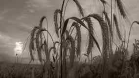 Campo de trigo en el sol