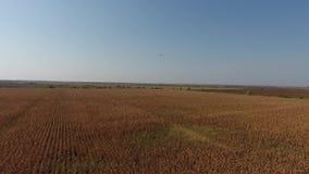 Campo de trigo en el sol, opinión del abejón almacen de metraje de vídeo