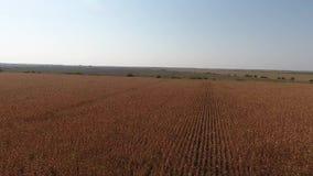 Campo de trigo en el sol, opinión del abejón almacen de video