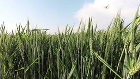 Campo de trigo en el sol, time lapse almacen de metraje de vídeo