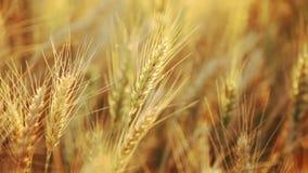 Campo de trigo en el sumer