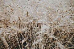 Campo de trigo en el verano Imagen de archivo libre de regalías