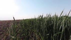 Campo de trigo en el viento, time lapse almacen de metraje de vídeo