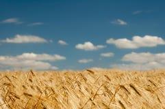 Campo de trigo en fondo del cielo azul fotografía de archivo