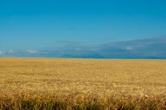 Campo de trigo en fondo del cielo azul fotos de archivo