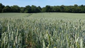Campo de trigo en Inglaterra para el solsticio de verano 2019 7 imagen de archivo