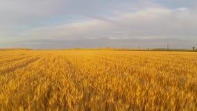 Campo de trigo en la antena de la puesta del sol almacen de video