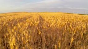 Campo de trigo en la antena de la puesta del sol metrajes