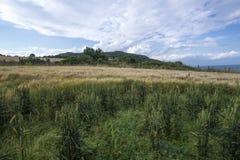 Campo de trigo en la costa Irlanda del océano Fotografía de archivo