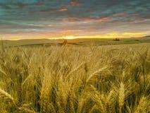 Campo de trigo en la puesta del sol Imagen de archivo libre de regalías