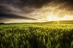 Campo de trigo en la puesta del sol con el cielo dramático Imágenes de archivo libres de regalías