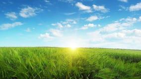 Campo de trigo en la puesta del sol Fuerte viento almacen de video