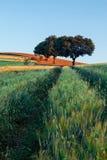 Campo de trigo en la salida del sol Imágenes de archivo libres de regalías