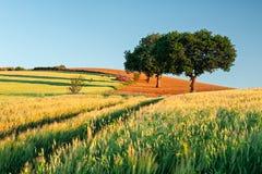 Campo de trigo en la salida del sol Imagen de archivo