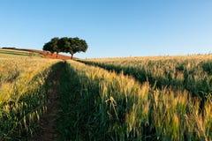 Campo de trigo en la salida del sol Imagen de archivo libre de regalías
