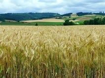 Campo de trigo en los llanos del norte, Oregon Fotos de archivo libres de regalías