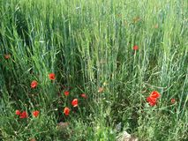 Campo de trigo en Marruecos imagen de archivo