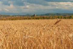 Campo de trigo en puesta del sol Imágenes de archivo libres de regalías