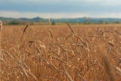 Campo de trigo en puesta del sol Imagen de archivo libre de regalías