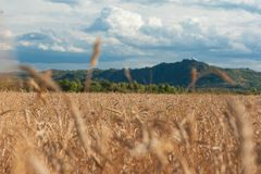 Campo de trigo en puesta del sol Fotografía de archivo