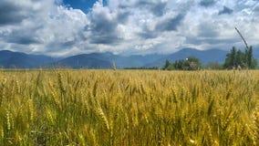 Campo de trigo en Transilvania Imagenes de archivo