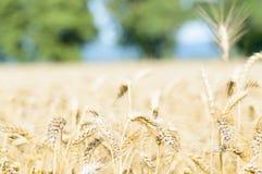 Campo de trigo en un día asoleado Foto de archivo libre de regalías