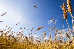 Campo de trigo en un día soleado del verano Foto de archivo libre de regalías