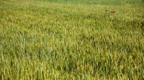 Campo de trigo en un plan grande imagen de archivo