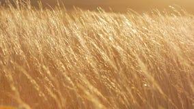 Campo de trigo en una puesta del sol metrajes
