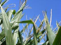 Campo de trigo en verano Imagen de archivo libre de regalías