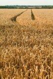 Campo de trigo en verano Imagenes de archivo