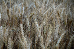 Campo de trigo en verano Fotos de archivo libres de regalías