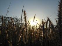 Campo de trigo encendido por el sol momentos antes de la puesta del sol imagenes de archivo