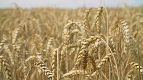 Campo de trigo ensolarado da terra video estoque