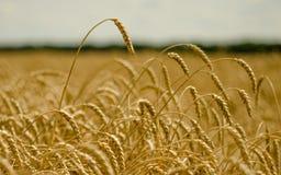 Campo de trigo ensolarado do russo Imagem de Stock