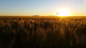 Campo de trigo escénico de la naturaleza que cultiva paisaje de la puesta del sol con el molino de viento almacen de video