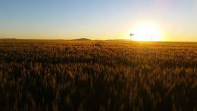 Campo de trigo escénico del paisaje de la naturaleza que cultiva puesta del sol almacen de video