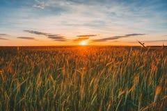 Campo de trigo espigado, cielo nublado del verano en la puesta del sol Dawn Sunrise Cielo imagen de archivo
