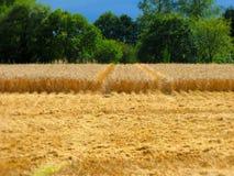 Campo de trigo fresco del corte fotos de archivo